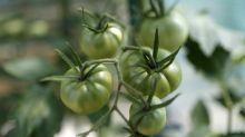 Vorsicht vor grünen Tomaten