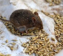 Australian mouse plague: Thousands of inmates moved from infested jail