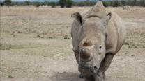 Can the White Rhino Be Saved? A Non-Profit's Quest