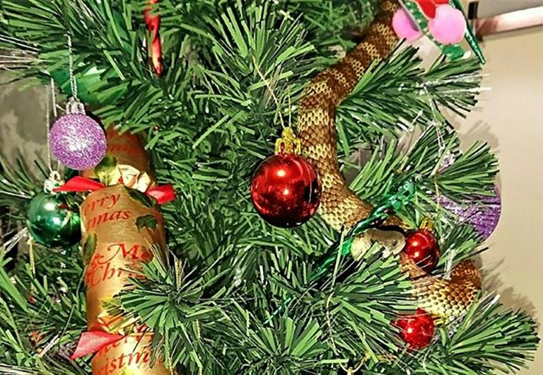 Snake Disguises Itself As Tinsel On Australia Christmas Tree