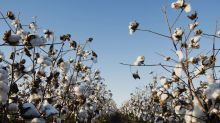 Monsanto Can't Have Patent on Bt Cotton in India, Court Says