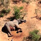 Botswana investigating deaths of hundreds of elephants