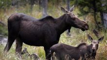 Laws won't let us give moose, deer to food banks: Newfoundland hunters