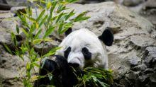 Bye bye Bei Bei: Washington dice adiós a su amado panda