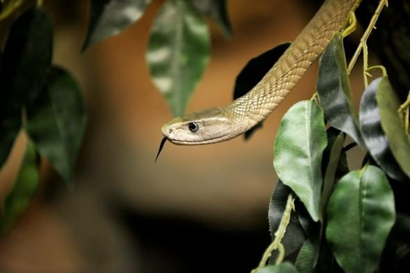 <p> Out of the world's 2,000 species of snake, around 250 are thought to be capable of killing a man. The Asian cobra does not have the deadliest venom, but is believed to be responsible for the biggest portion of the thousands of snakebite deaths every year. In Africa, the black mamba is the largest venomous snake and, during an attack, can strike up to 12 times, each time delivering enough neuro and cardio-toxic venom to kill a dozen men within 1 hour.<br /> <strong>Kills:</strong> An estimated 50-125,000 people a year.<br /> <strong>Deadly technique:</strong> A snake will use its fangs to pierce the skin and inject its paralysing venom.<br /> <strong>Lives in:</strong> Africa, Asia, Australia, North America</p>