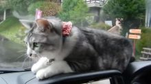 Cat has epic battle with persistent windscreen wiper
