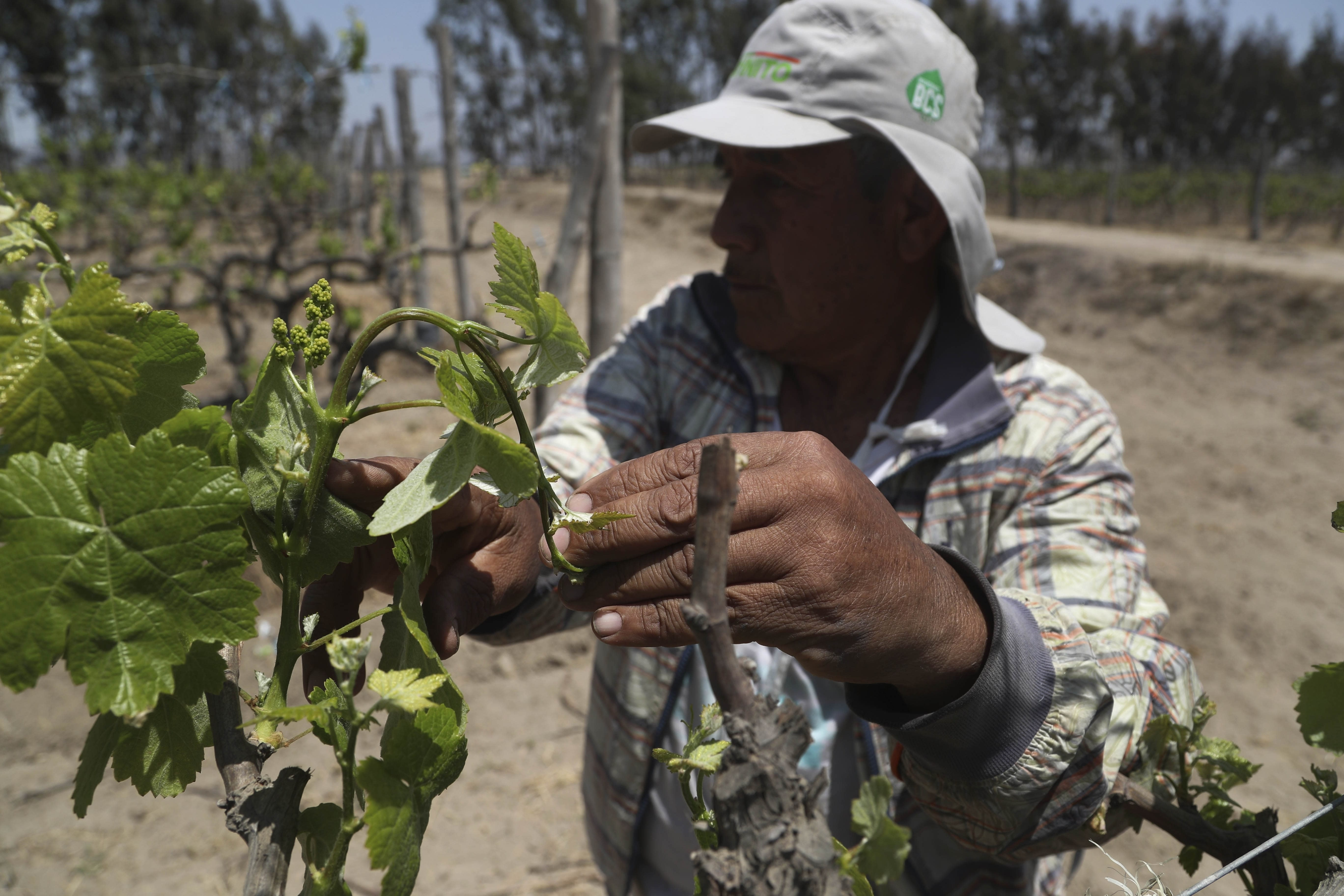 Farmer Nicanor Tasaico looks for small grapes on a grapevine at his vineyard in Ica, Peru, Monday, Sept. 28, 2020. More than 500 Pisco producers have seen their sales collapse by half and thousands of grape growers have had their fields ruined because of the late harvests, because of the strict lockdown implemented to stop COVID-19. (AP Photo/Martin Mejia)