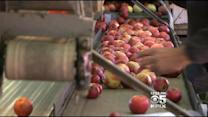 Sonoma Farmers Expect Smaller Apple Crop This Year