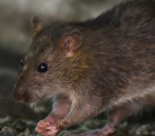 Coronavirus: Why more rats are being spotted during quarantine