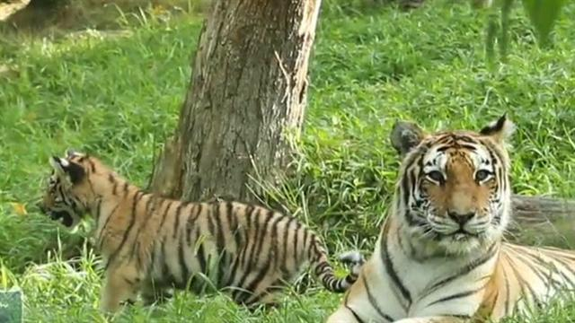 Man mauled by tiger at zoo