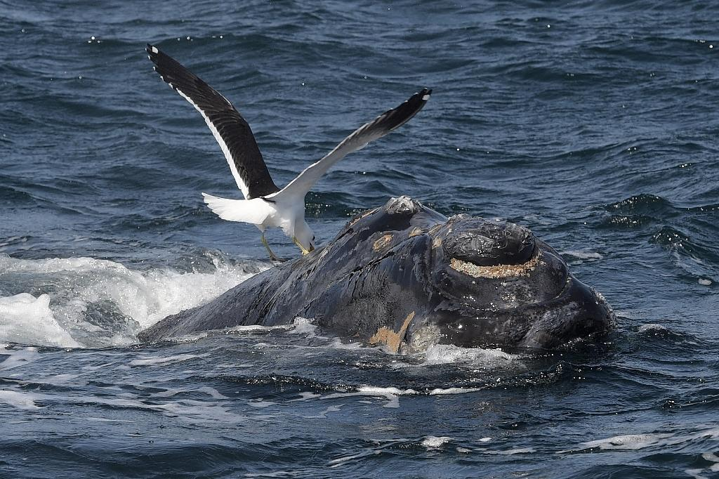 "The International Whale Commission's ""Florianopolis Declaration"" sees whaling as no longer being a necessary economic activity (AFP Photo/JUAN MABROMATA)"