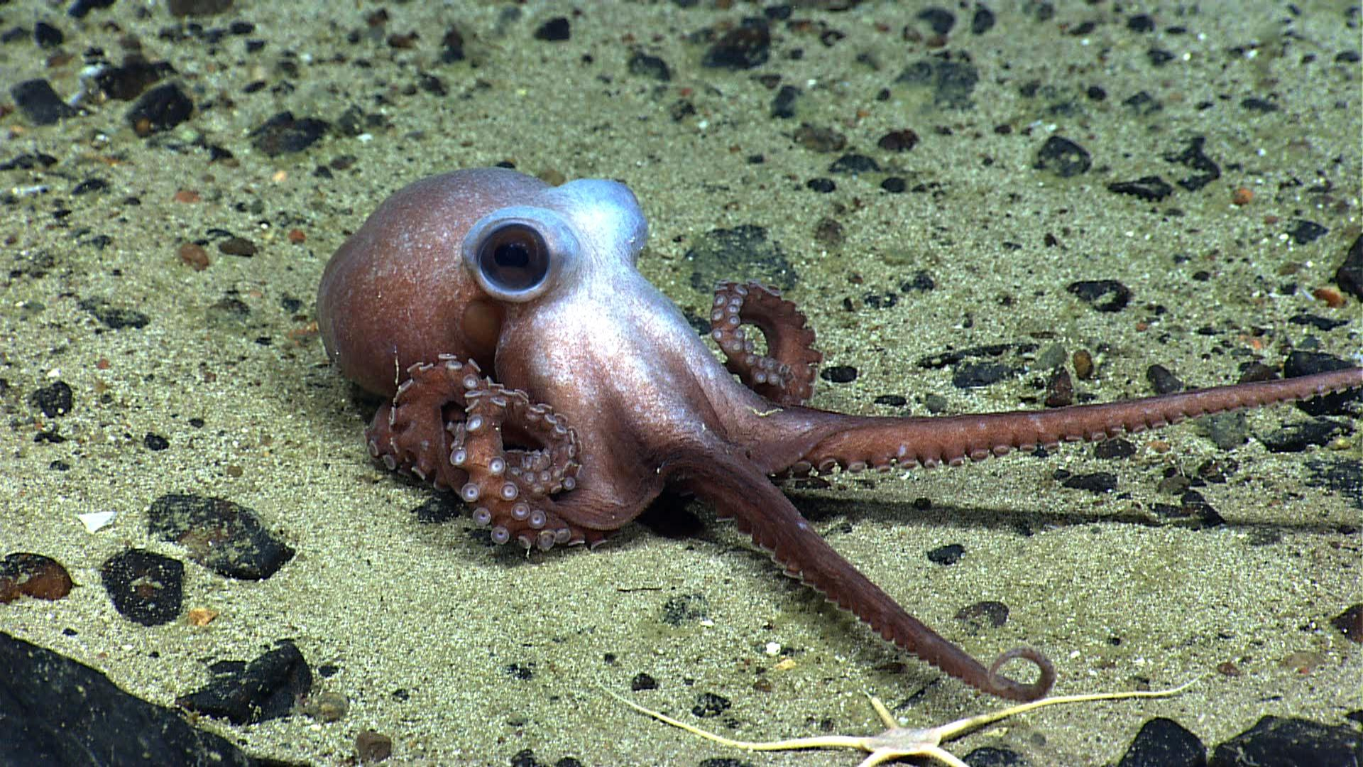 <p><span>An octopus stretches its tentacles on Physalia Seamount. This animal is a predator like all octopus and squid species and feeds on fish and invertebrates on the seamount. Little detail is known about the lives of many deep-sea creatures. (Photo: NOAA Okeanos Explorer Program, 2013 Northeast U.S. Canyons Expedition Science Team)</span> </p>