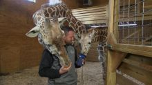 April the giraffe might be pregnant again 7 months after viral birth