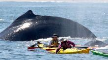 Touristen verpassen Buckelwale direkt neben ihnen