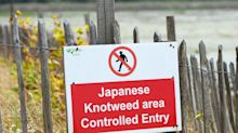Japanese knotweed is knocking £34bn off UK property values