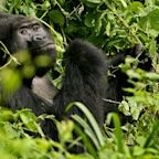 A New Study Reveals That There Are a Lot More Gorillas Than We Thought