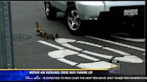 Mother and ducklings cross busy parking lot
