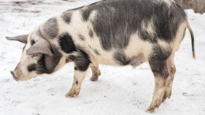 La curiosa forma en que estos policías llevaron a un cerdo de vuelta a casa