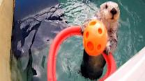 Zoo otter goes 'above the rim' to stay active