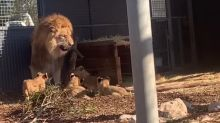 Lion cubs encounter adult males for the first time at Australian Zoo