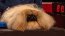 Wasabi the Pekingese Wins Best in Show at the 2019 AKC National Championship