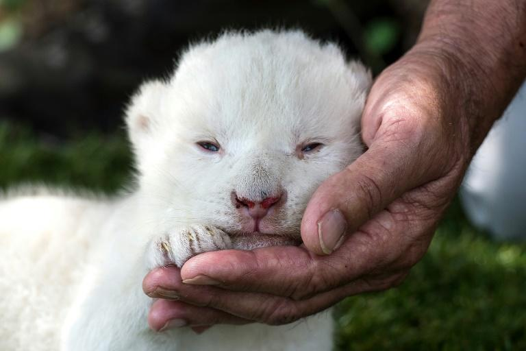 Born on May 31, the cub is the first white lion born in a Spanish zoo