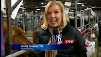 Cattle prepped for competition at Pa. Farm Show