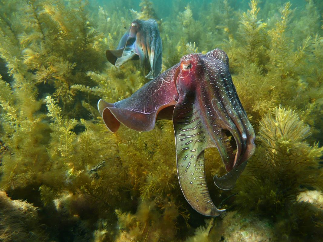 Cuttlefish, Squid and Relatives Thrive in Warming Oceans - Animals ...
