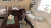 Huge Newfie and tiny Spaniel have epic and adorable battle