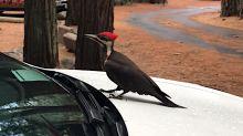 Pájaro Carpintero inspecciona un Tesla