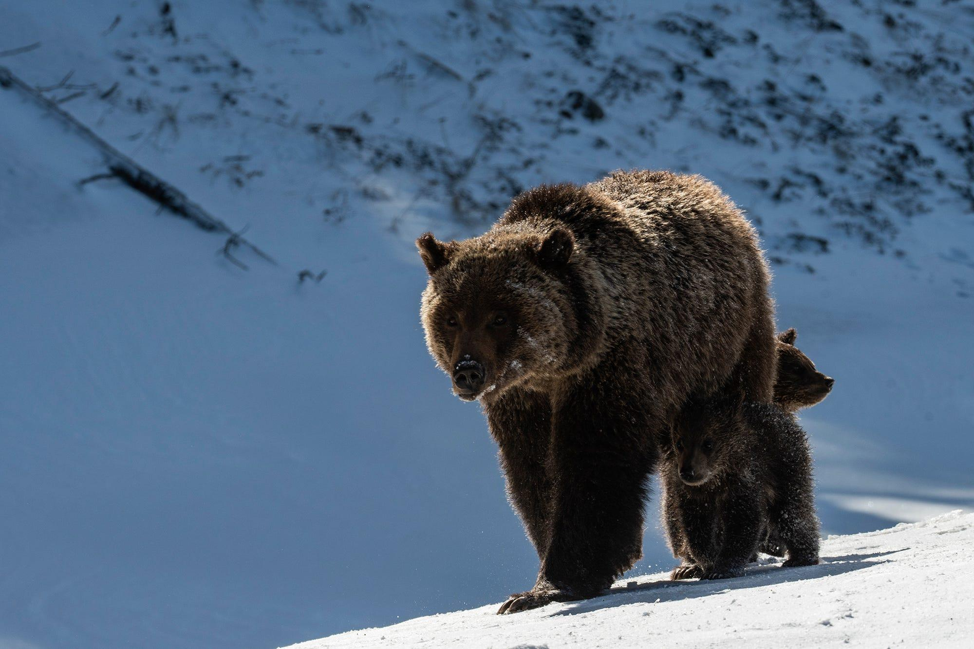 Grizzly bear 'Felicia' and her cubs may be euthanized for being too close to Wyoming road