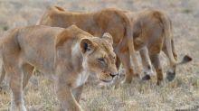 Dos leonas matan a un conocido conservacionista en Sudáfrica