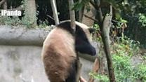 Adventurous Panda Gets Stuck Up a Tree