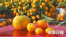 【大吉大利】園藝達人教揀桔 金黃果皮脹身有光澤就最靚!