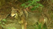 Endangered Red Wolves Face Uncertain Future