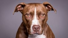Delta Airlines Bans Pit Bulls as Service and Support Animals