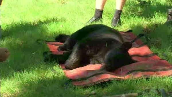 Bear gets stuck in tree in New Jersey