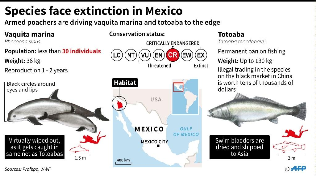 Factfile on the totoaba and the vaquitqa marina, which are being pushed towards extinction because of poaching and illegal trade (AFP Photo/Gustavo IZUS, Nicolas RAMALLO)