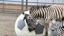 Baby zebras train at Pittsburgh Zoo