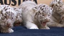 Five white tiger cubs make their public debut