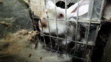 """L214 diffuse de nouvelles """"images terribles"""" d'un élevage de lapins dans le Morbihan"""