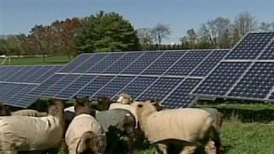 Sheep Keep Grass Around District's Solar Panels Trim