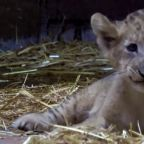 This lion cub was born from artificial insemination