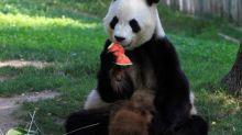 Los animales del Zoo madrileño combaten con helados la ola de calor