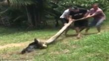 Incredible: Dog saved from giant python in Thailand