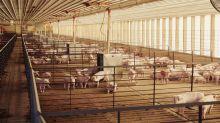 Slower Pig Slaughtering Has Farmers Worried Hog Rally Has Peaked