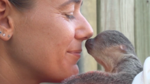 Baby Sloth at Brevard Zoo Shows Zookeeper Some 'Eyebrow Love'