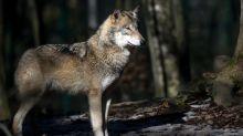 Leben mit dem Wolf im Osten
