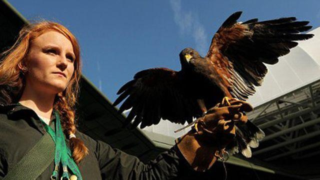 Fox on Reddit: Rufus the Hawk's AMA takes flight