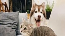 Cats, Dogs can get infected with COVID-19 but cats develop a strong immune response: study